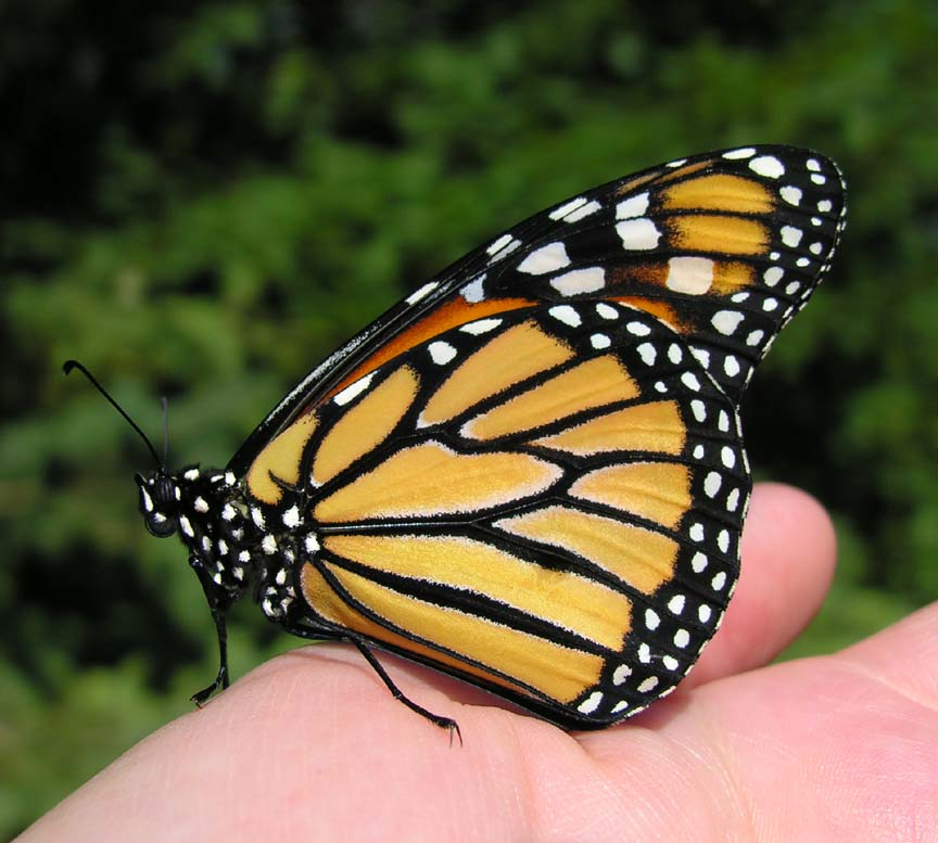Monarch on my hand